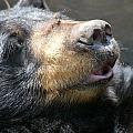 Black Bear Up Close by Larry Allan