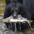 Black Bear With Salmon by Max Waugh