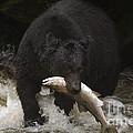 Black Bear With Salmon by Ron Sanford