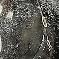 Black Beauty In A Blizzard by Carrie Ann Grippo-Pike
