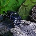 Black Beetle by Douglas Barnett