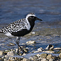 Black-bellied Plover by John Greco