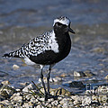 Black-bellied Plover No.2 by John Greco