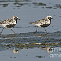 Black-bellied Plovers by Anthony Mercieca