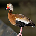 Black-bellied Whistling Duck by Anthony Mercieca