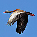 Black-bellied Whistling-duck In Flight  by Savannah Gibbs