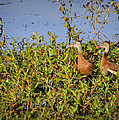 Black-bellied Whistling Ducks by Carolyn Marshall