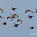 Black-bellied Whistling Ducks In Flight by Anthony Mercieca