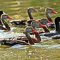 Black-bellied Whistling Ducks by Luana K Perez