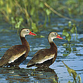 Black-bellied Whistling Ducks Wading by Tom Vezo