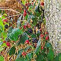 Black Berry by Nick Kirby