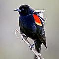 Black Bird by Athena Mckinzie
