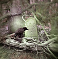 Black Bird In Forgotten Graveyard by Jill Battaglia