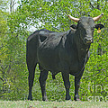 Black Bull by Donna Brown
