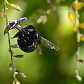 Black Bumblebee by Debra Martz