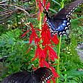 Black Butterflies by Joshua Bales