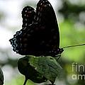 Black Butterfly by Joshua Bales