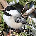 Black-capped Chickadee 9527 by Joseph Marquis