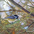 Black-capped Chickadee by Elizabeth Dow