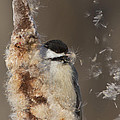 Black-capped Chickadee In Winter by Mircea Costina Photography