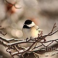 Black-capped Chickadee by J McCombie