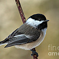 Black Capped Chickadee by Rick Mousseau