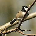 Black-capped Chickadee by Teresa A Lang