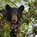 Bear In A Cherry Tree by Doug McPherson