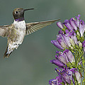 Black Chinned Hummingbird 2 by Jack Milchanowski