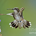 Black-chinned Hummingbird by Anthony Mercieca
