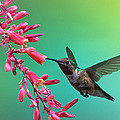 Black Chinned Hummingbird by Mary Lee Dereske