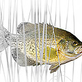 Black Crappie Pan Fish In The Reeds by Randall Nyhof