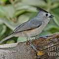 Black-crested Titmouse by Anthony Mercieca