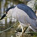 Black-crown Heron Going Fishing by David Millenheft