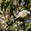 Black-crowned Heron Looking For Nesting Material by Kathleen Bishop