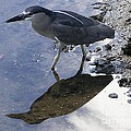 Black Crowned Night Heron And Shadow by Mary Deal