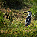 Black-crowned Night Heron At Carson Lake Wetlands by Priscilla Burgers