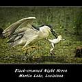 Black-crowned Night Heron At Martin Lake by Priscilla Burgers