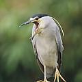 Black-crowned Night Heron Calling by Konrad Wothe
