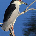 Black Crowned Night Heron by Cindy Reilley