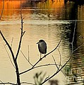 Black-crowned Night Heron by Marilyn Smith