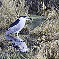 Black Crowned Night Heron by Paul Riedinger