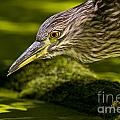 Black Crowned Night Heron Pictures 115 by World Wildlife Photography
