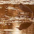 Black-crowned Night Heron Sunset by Richard Kitchen