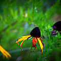Black Eye Susans by Brian Schultz