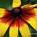Black Eyed Susan 2 by Kevin Fortier
