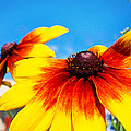 Black Eyed Susan by Catherine Snowden
