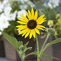 Black Eyed Susan by Cecily Vermote