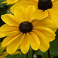 Black-eyed Susan by Eric Albright