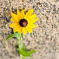 Black-eyed Susan Flower On A Gneiss Rock by Les Palenik
